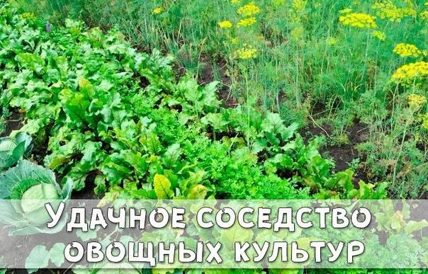 Удачное соседство овощных культур
