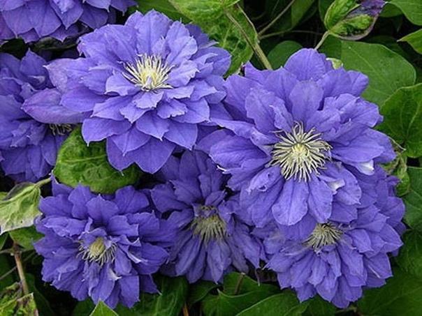 Уход за клематисами Посадка клематисовБольшое значение имеет местоположение клематисов, поскольку это очень светолюбивые растения. Если света недостаточно, трудно добиться хорошего цветения.