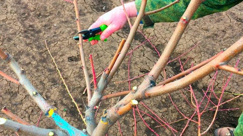 Правильная обрезка персика 3 й год после посадки опытный участок proper peach pruning