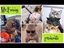 Мопс на скейтборде. Смешные животные. Видео про котов. Смешные моменты.