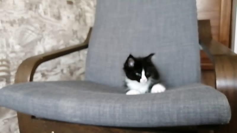 Live: Мейн кун котята в Крыму, Севастополь, Гераклея