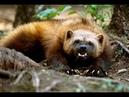 Северный дьявол. РОСОМАХА против волка, пумы, медведя и охотничьих собак. 2020