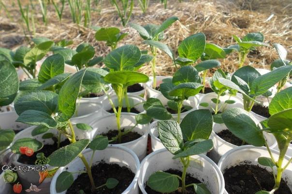 Особенности посадки картофеля на рассаду семенами