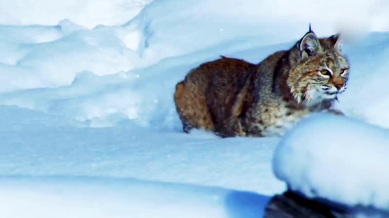 Древнейшая кошка дикая РЫСЬ Интересные факты и жизнь рыси описание характер рыси