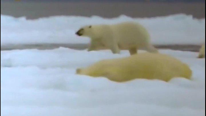 Первозданная природа Арктический оазис Канадский остров Саутгемптон Документальный животные