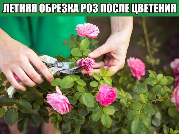 Летняя обрезка роз после цветения