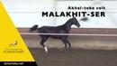 Akhal-teke colt MALAKHIT-SER