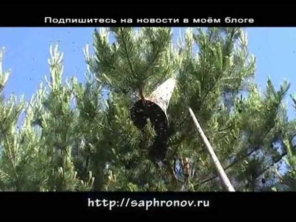 Роение - снимаем рой с дерева (snyatie roya)
