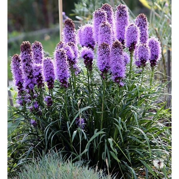 Лиатрис очень дружелюбный цветок, практически все садоводы, выращивающие эту культуру на своих приусадебных участках, отзываются о нем очень тепло Растение весьма неприхотливо. Несмотря на