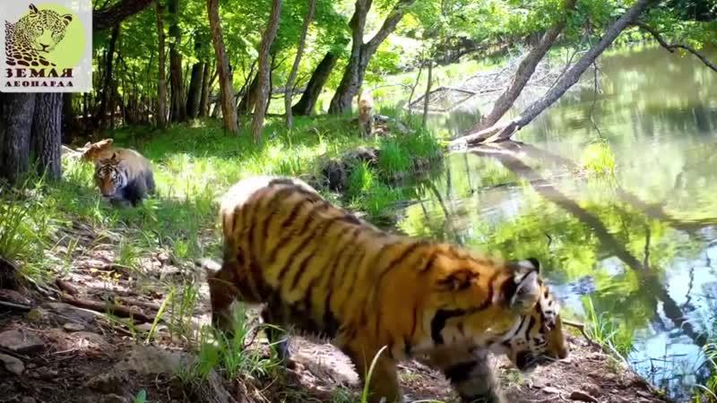 Прогулка тигриной семьи по заповеднику Земля леопарда