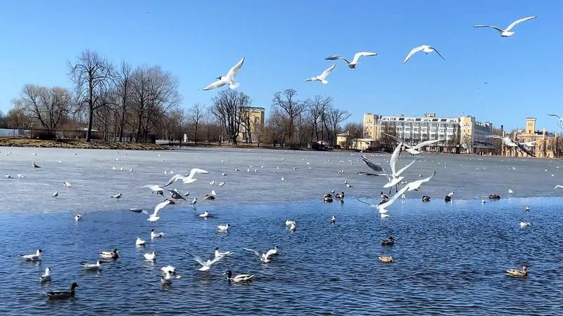 Чайки и утки оккупировали Ольгин пруд в Петергофе сотни пернатых плавают летают отдыхают на льду