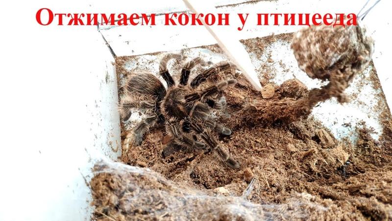 Паук птицеед для новичка Альба Tliltocatl albopilosus ex Brachypelma albopilosum