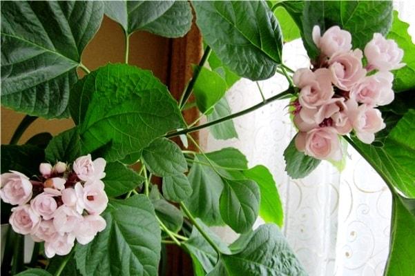 Клеродендрум Род Клеродендрум (Clerodendrum) включает в себя около 400 видов, кустарников, лиан и деревьев, произрастающих в тропических и субтропических регионах Африки, Азии, Австралии,