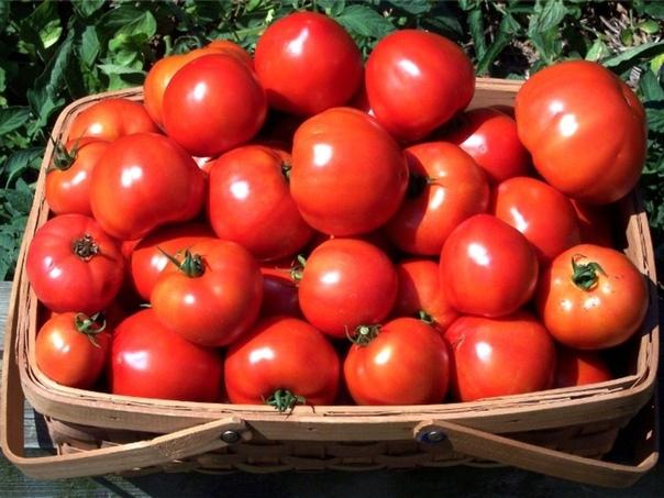 165 томатов или 8,4 кг. С одного куста! Как
