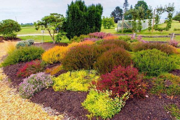 Посадите вереск в саду: это ароматный медонос и красивый почвопокровник.
