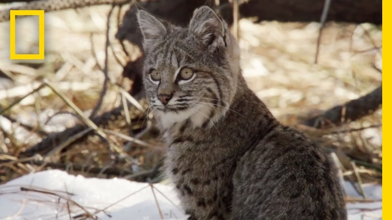 Bobcat Cubs Steal Mom s Food National Geographic