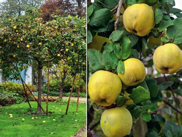 Поздний фрукт: выращиваем ароматную айву.