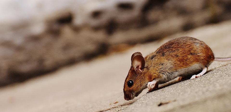 Марий Эл среди семи регионов России, где зафиксирована вспышка мышиной лихорадки