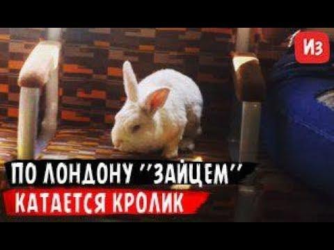 По Лондону зайцем катается кролик