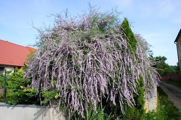 6 причин выращивать буддлею очереднолистную. Два года тому назад в начале лета, прогуливаясь по местному парку, увидел интересное растение. Мне повезло, оно как раз цвело, и я сразу понял мне
