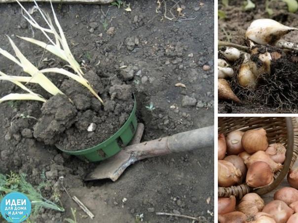 Июнь: срочно выкапываем луковицы тюльпанов Многие садоводы не знают когда надо выкапывать тюльпаны, а некоторые вообще не заморачиваются и никогда этого не делают. Правда потом тюльпаны у них