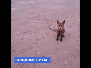 В Иркутской области лисы убегают из горящих лесов и приходят к людям в поисках еды
