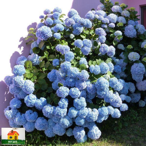 Голубая гортензия, любовь моя