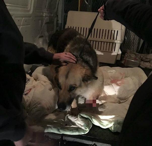 Хозяева настолько забили на овчарку, что та отгрызла себе больную лапу В США во время доставки посылки курьер заметил на заднем дворе дома овчарку в ужасном состоянии. У собаки не было передней