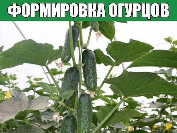 Формировка огурцов