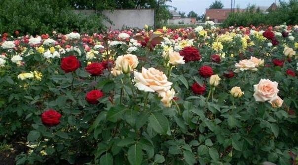 А ВЫ ЗНАЛИ Ошибки при выращивании роз. Рекомендуем сохранить!