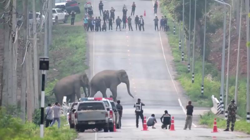 Семья из 50 слонов на шоссе в одной из провинций Таиланда.  Полицейские остановили движение животные благополучно перешли дорогу