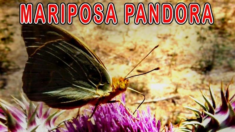 Mariposa Pandora es de las Más bellas Mariposas Parecida a Mariposa Nacarada Fauna Española