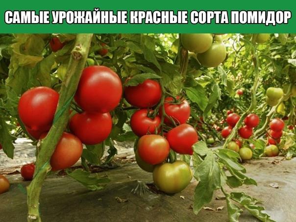 Самые урожайные красные сорта помидор