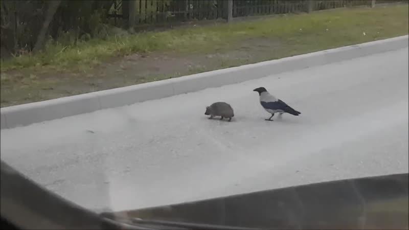 В латвийском городе Огре ворона помогла ежику перейти дорогу