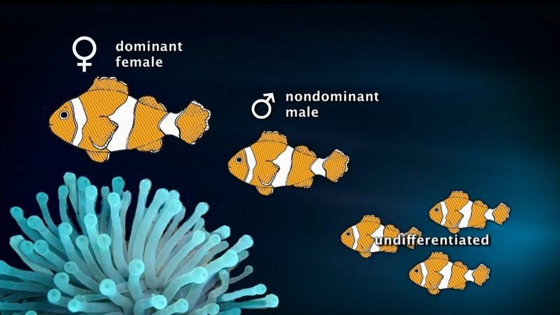 Sex Changing Clownfish 90 Sec