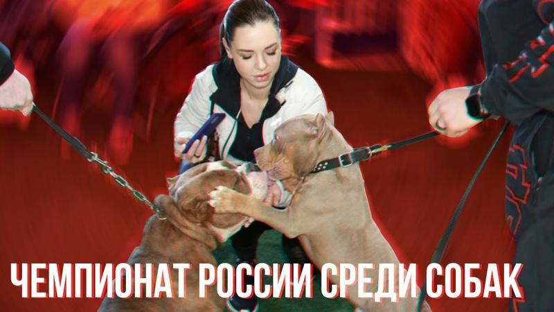 Чемпионат России среди собак породы буллей