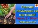 Выращивание помидор на картофеле результат эксперимента в огороде